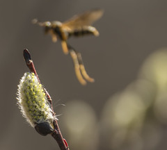 _DSC6876-Edit (doug.metcalfe1) Tags: plant nature insect spring outdoor osprey pussywillow 2016 mckenziemarsh nokiidaatrail