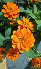 Spring Blooms (CheetahLogic) Tags: flowers orange nature petals zinnia