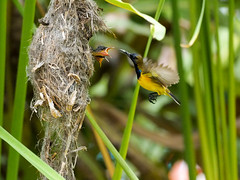 20160401-EM1X5030 (shutterblades) Tags: bird feeding nesting nests sunbirds gardensbythebay olympusem1 olympusmzuiko300mmf4pro