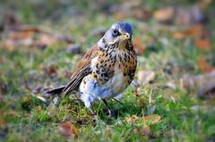 Fieldfare (Ersin Demir) Tags: bird nature birds ngc depthoffield turduspilaris fieldfare warmcolors bjrktrast nikon70300mm nikond5100 grimstanaturreservat ardkuu