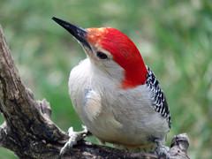 IMG_2233 (lbj.birds) Tags: bird nature woodpecker wildlife kansas redbelliedwoodpecker flinthills