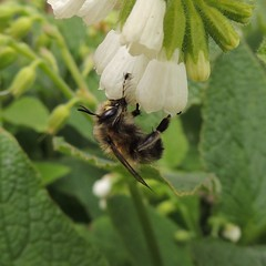 Photo of Male hairy-footed flower bee (Anthophora plumipes) on comfrey, Sandy, Bedfordshire