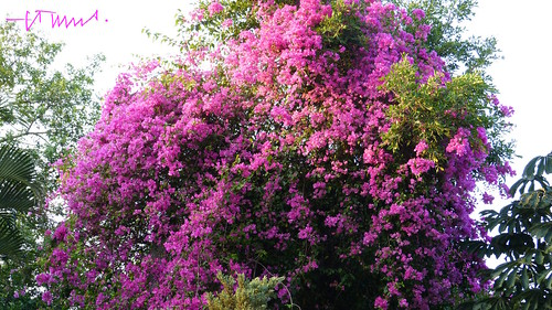 Bougainvillea in its peak, El Salvador