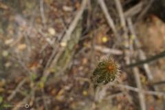 Xique-xique (Cactaceae) (alcesterdiego) Tags: brasil flora bahia cactaceae pedra xiquexique redonda serto caatinga semirido caetit