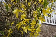 029.Yellowbloom-park (aetherspoon) Tags: park flowers blooms greentree