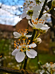 plum blossom (seanfderry-studenna) Tags: new pink white plant flower detail macro tree nature floral horizontal closeup garden season cherry march spring flora soft branch close natural blossom gardening outdoor background softness wide young peach plum orchard petal blank zen bloom april fade blossoming bud title delicate isolated tender tenderness freshness gentle blooming