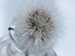 A cold, crisp, dewy morning and a fairy clock..... (Liz McMahon) Tags: macro dandelion dew 25 lookingdown nikon105mm fairyclock nikond750 52in2016