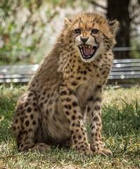 Cheetah Cub (ToddLahman) Tags: cheetah safaripark escondido canon100400 cheetahcub sandiegozoosafaripark canon7dmkii