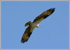 ((( Osprey Flight Extension - II. ))) (Wolverine09J ~ 1 Million + Views) Tags: wildlife raptor soaring birdsofprey naturesbest fisheagle beautifulcapture naturescreations 1goldwildlife centralparkwildlifehighlights ospreyaerial