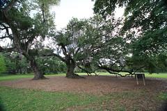 Canon206500 (godrudy6661) Tags: neworleans audubonpark treeoflife oaktrees
