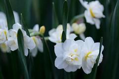 White Lion double daffodils (Niki Gunn) Tags: flower macro pentax daffodil april tamron 90mm k5 tamron90mm doubledaffodil 2016 tamron90mmf28 tamron90mmmacro tamronspaf90mmf28