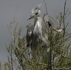 _DSC0485 (chris30300) Tags: france heron de pont parc oiseau camargue gau saintesmariesdelamer flamant provencealpesctedazur ornithologique