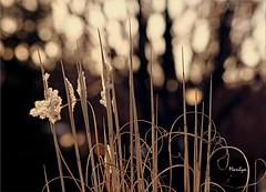 Des toiles dans les yeux (Bouteillerie) Tags: flower floral fleur fleurs canon spring bokeh printemps vgtal languageofflowers languageofflower bouteillerie