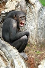 Chimpanzé (olivier.ghettem) Tags: africa valencia animal monkey spain ape chimpanzee extérieur espagne valence afrique singe chimpanzé chimpancé grandsinge afriqueéquatoriale bioparcvalencia