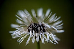 Make A Wish (AngelBeil) Tags: macro nature dandelion makeawish