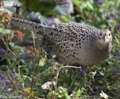 I can see you (Katy Wrathall) Tags: england birds female march spring pheasant feeders eastyorkshire 2016 eastriding