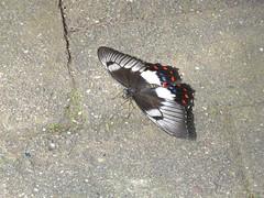 Papilio aegeus 4 (barryaceae) Tags: house butterfly harbour australia nsw coffs the ausbutterfly