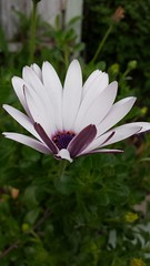 African Daisy (waddling-penguin) Tags: white flower leaves daisy africandaisy springflower bluedeyebeauty
