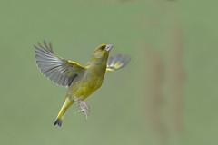 L'envol... (francois031) Tags: carduelischloris europeangreenfinch verdierdeurope fringillids passriformes