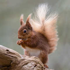 Red Squirrel (Mr F1) Tags: wild colour cute animal forest mammal outdoors rodent cuteness redsquirrel sciurusvulgaris johnfanning