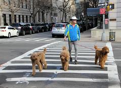 three dogs (J Blough) Tags: street nyc dog manhattan uppereastside