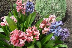 Hyazinthen (gerlindes) Tags: hyacinthus frhlingsboten hyazinthen frhblher liliengewchse