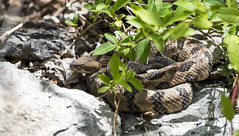 Timber Rattlesnake (Jim-B-1979) Tags: nature reptile basking crotalushorridus pitviper