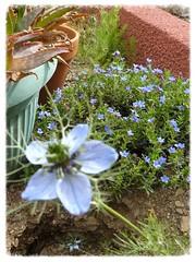 dans un jardin (Claudie K) Tags: vert bleu pots cerbre lithodora alos rougebrique nigelles