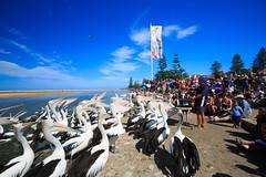 LR-160316-031.jpg (Finert) Tags: theentrance friendlyflickr pelicanfeeding 160316
