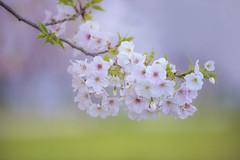 FEW DAYS EARLIER (ajpscs) Tags: white japan japanese tokyo spring  cherryblossom  sakura nippon   haru       seasonchange   oshimazakura ajpscs  oshimacherry fewdaysearlier