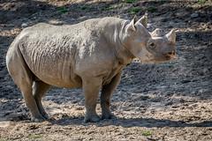 Black Rhino Boy (helenehoffman) Tags: animal mammal rhino rhinoceros specanimal dicerosbicornismichaeli hookedlippedrhino easternblackrhino sandiegozoosafaripark conservationstatuscriticallyendangered