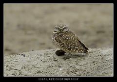 """Burrowing Owl"" (Lisa L Kee Photography) Tags: nature canon wildlife owl northdakota burrowingowl theodorerooseveltnationalpark canon7d lisalkee lisalkeephotography canon500mmf45"