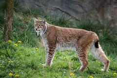 Lynx (d.dk) Tags: nature animal cat zoo tiere zoom wilderness predator lynx tier luchs