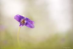 La femme d'ET ... Violette (mahieu.phil) Tags: takumar f14 smc