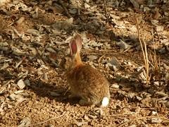 Conejo (pablohid) Tags: hojas conejo marron tierra orejas