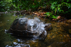Manouria emys, Asian forest tortoise - Kaeng Krachan National Park (Rushen!) Tags: thailand nationalpark nikon reptile wildlife tortoise 24mm reptiles asianforesttortoise kaengkrachan manouria kaengkrachannationalpark manouriaemys foresttortoise bankrang
