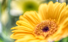 sunny yellow (frederic.gombert) Tags: flowers light summer orange sun flower color macro green colors yellow spring sunny gerbera bunch greatphotographers macrodreams