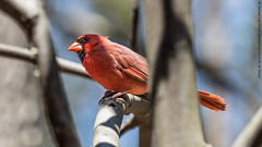 Male Northern Cardinal (P4161048) (Michael.Lee.Pics.NYC) Tags: newyork male bird bokeh olympus nybg mkii markii newyorkbotanicalgarden northerncardinal em5 40150mmpro28
