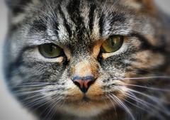 MondayFace (SpitMcGee) Tags: portrait pet cat teddy explore kater 256 neighbourscat notmycat mondayface montagsgesicht spitmcgee