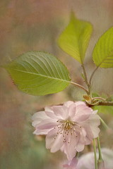 Cherry Blossom Series (suzanne~) Tags: pink macro tree texture germany munich cherry spring outdoor blossoms series