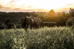 The horse and the sunset (XKokmotos) Tags: sunset horse colour nature animals catchycolors landscape spring nikon colours nikonphotography xkokphotography
