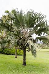 The Christmas Tree Palm (rschnaible) Tags: christmas trees usa tree botanical hawaii us pacific maui palm tropical tropics