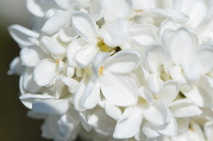 White lilac (dfromonteil) Tags: white flower macro fleur spring bokeh sunny lilac blanc printemps lilas ensoleill