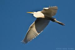 Great Egret (Doug Scobel) Tags: alba great ardea kensington egret metropark