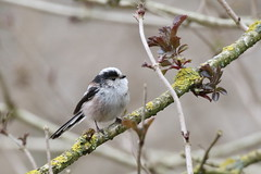 Staartmees - Long-tailed Tit -Aegithalos caudatus (marcdeceuninck) Tags: birds vogels longtailedtit aegithaloscaudatus staartmees natuurfotografie msangelonguequeue
