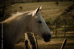 _DSC8666 (Izaias Lus) Tags: brasil caballos photography photographie cavalos equestrian equine nordeste chevaux equino haras equestre garanhunspe
