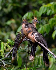 Hoatzin (Stinkbirds)  early morning along a contributory to the Napo River, Ecuador Rainforest (One more shot Rog) Tags: birds ecuador wings rainforest wildlife beak hoatzin napo wildturkeys stink beaks amazonbasin naporiver hoatzinbird stinkbirds stinkybirdfeathers