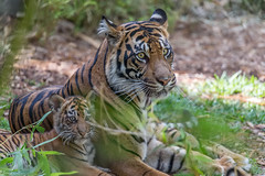 5-year old Joanne and Nelson, one of her 3, 3-month old Sumatran Tiger cubs (Panthera tigris sumatrae) - Tiger Trail - San Diego Zoo Safari Park (Jim Frazee) Tags: sumatrantiger tigertrail pantheratigrissumatrae sandiegozoosafaripark