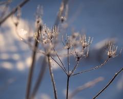 Ice lace I (TaleOfJoy) Tags: winter snow finland helsinki simplicity lumi talvi vuosaari sylvestris anthriscus koiranputki