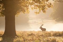 Golden Mornings (LawrieBrailey) Tags: park uk morning light red wild england urban mist male london photography golden photo nikon stag britain wildlife richmond deer 300mm hour british nikkor d3 afs rut f40 lawrie brailey nonvr